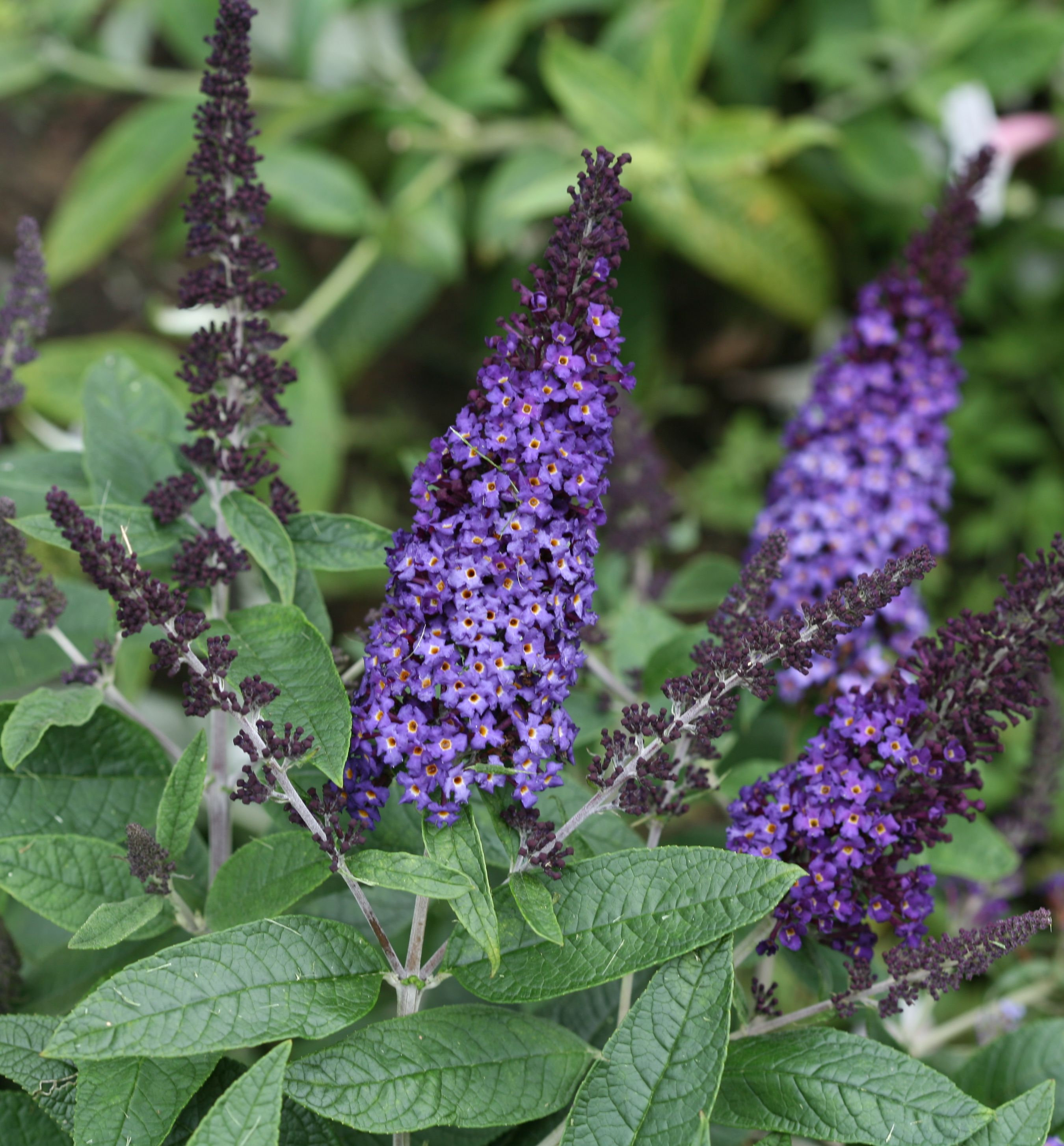 Pugster Blue Butterfly Bush Natorp S Online Plant Store
