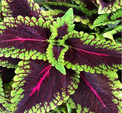 Shade Plants Annual