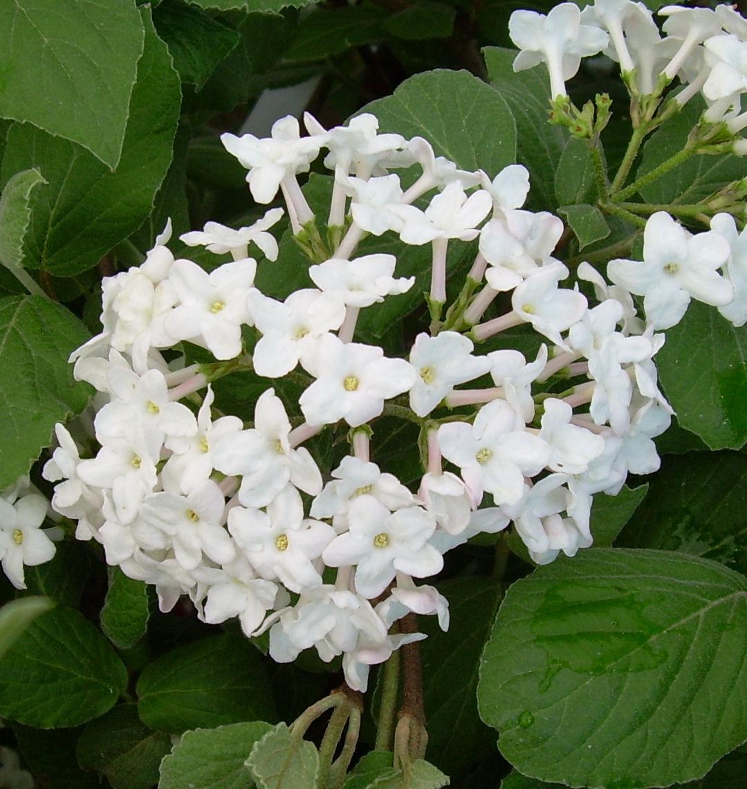 Fragrant Viburnum Judd Natorp S Online Plant Store